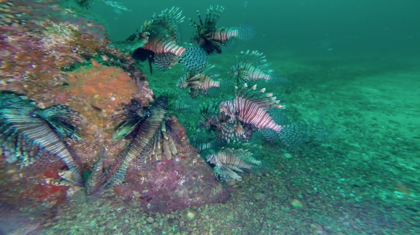 Invasion of the Lionfish